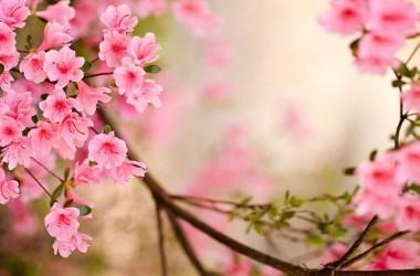 Pink Flower Spring Wallpaper