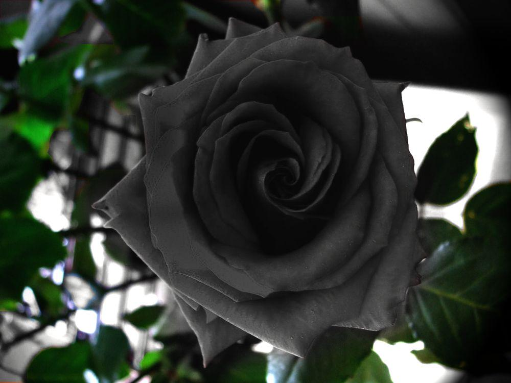 Best Black Rose