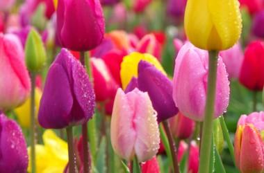 Festival Tulip