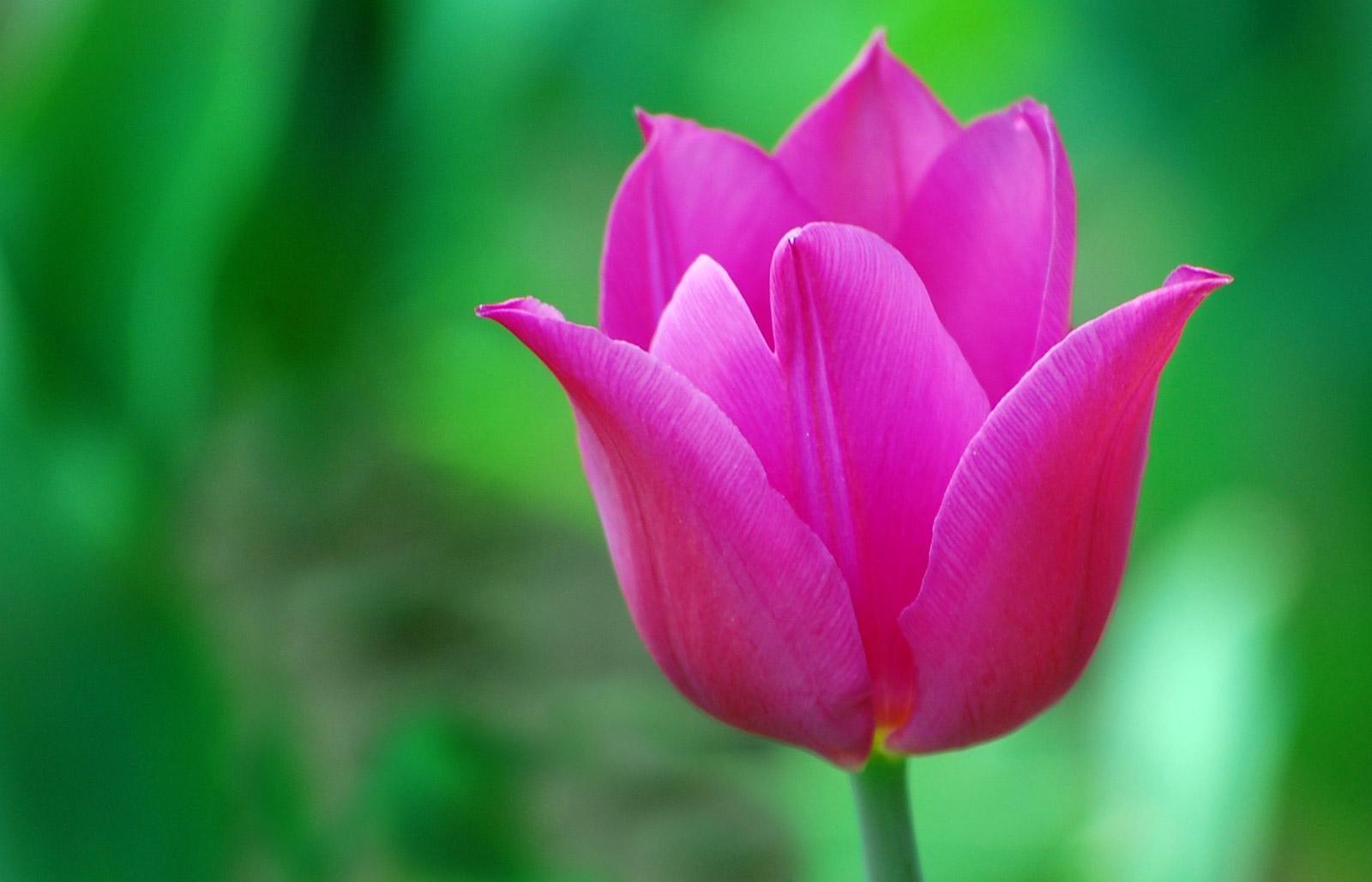 Hd Tulip Picture 1399