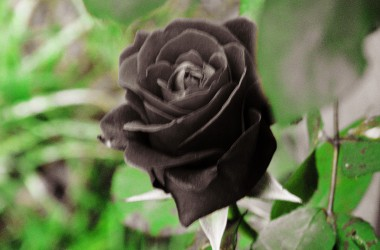 Free Black Rose