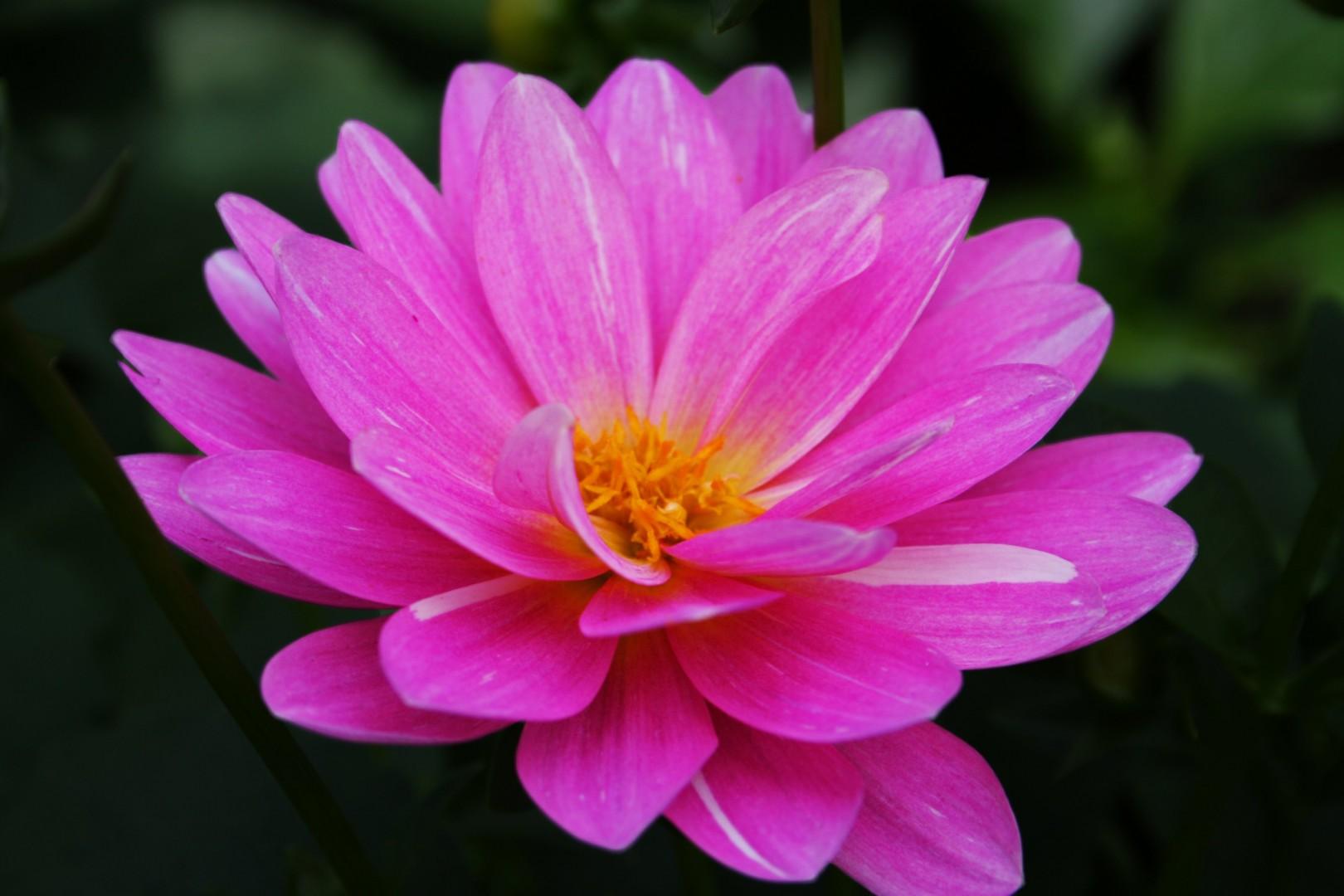 Nice Pink Flower Image 3040