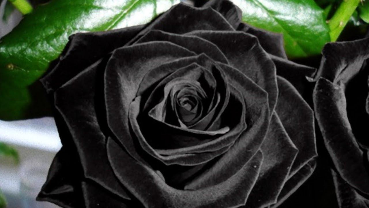 Nice Black Rose