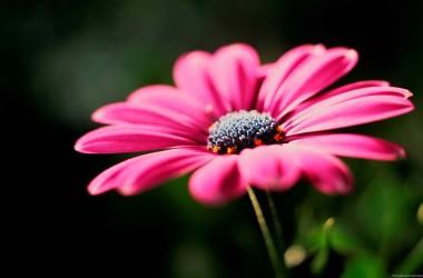 Pink HD Flower