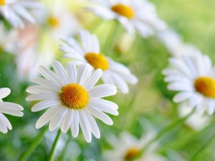 White HD Flower