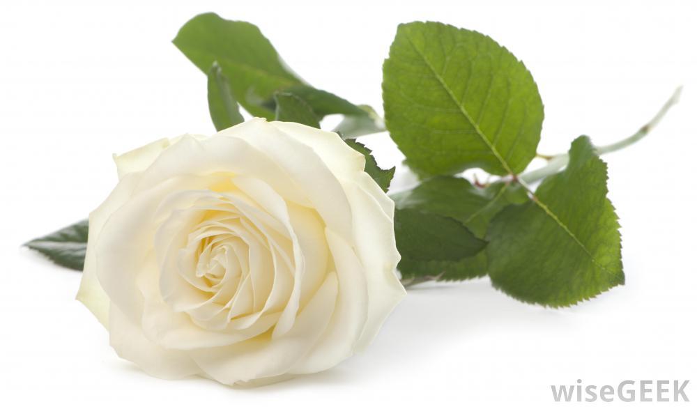 Резултат со слика за photoos of white roseas