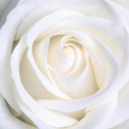 Nice White Rose Photo