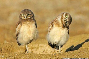 Owl Funny Bird