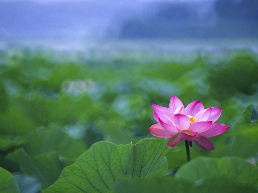 Lotus Wallpapers 5968 Hdwpro