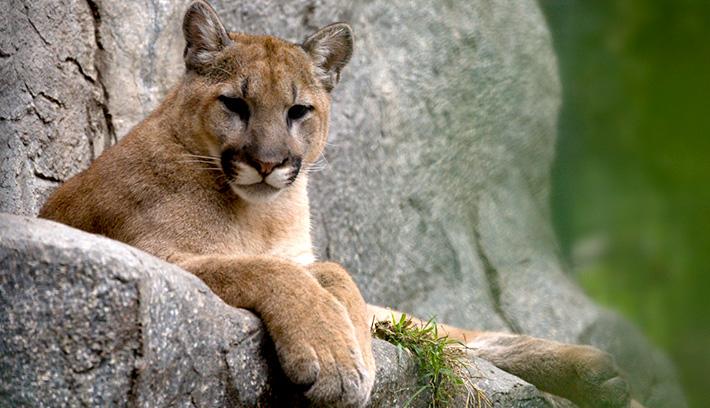 Best Mountain Lion