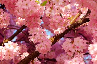 Pink Cherry Blossom 7508