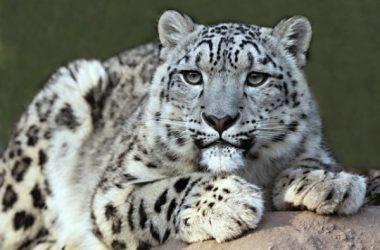 Beautiful Snow Leopard 8303
