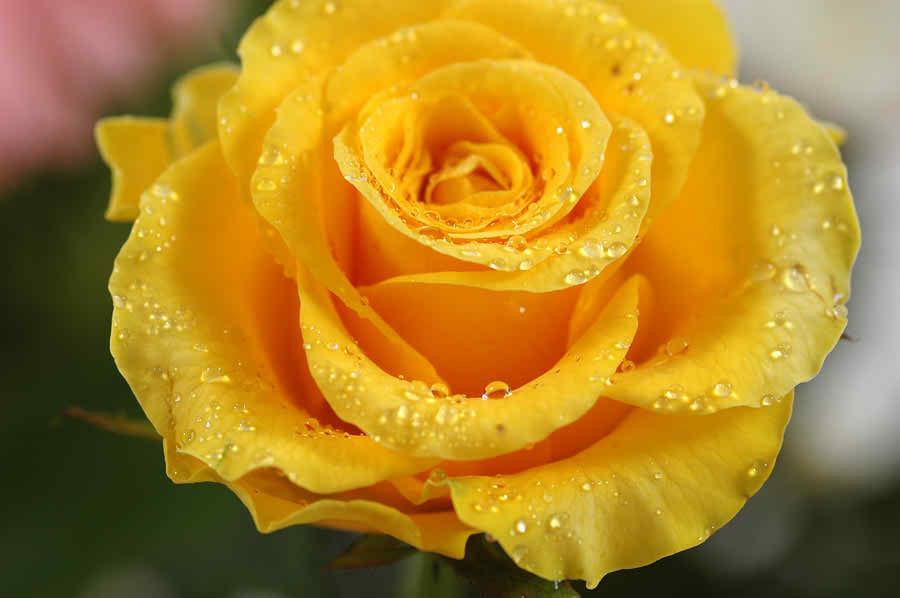Red Rose Image 605 - HDWPro  Beautiful