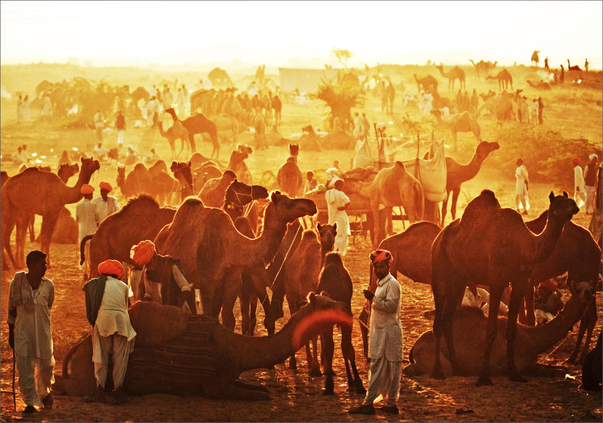 Free Pushkar Camel Festival