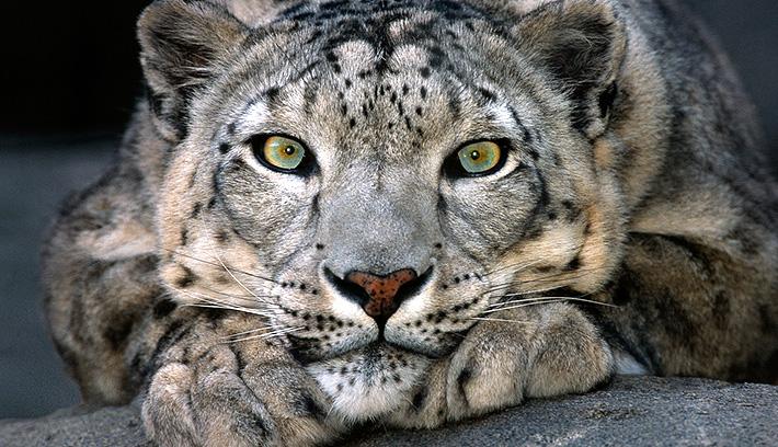 Green Eyes Snow Leopard