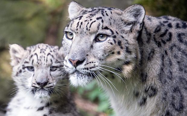Potd Snow Leopard
