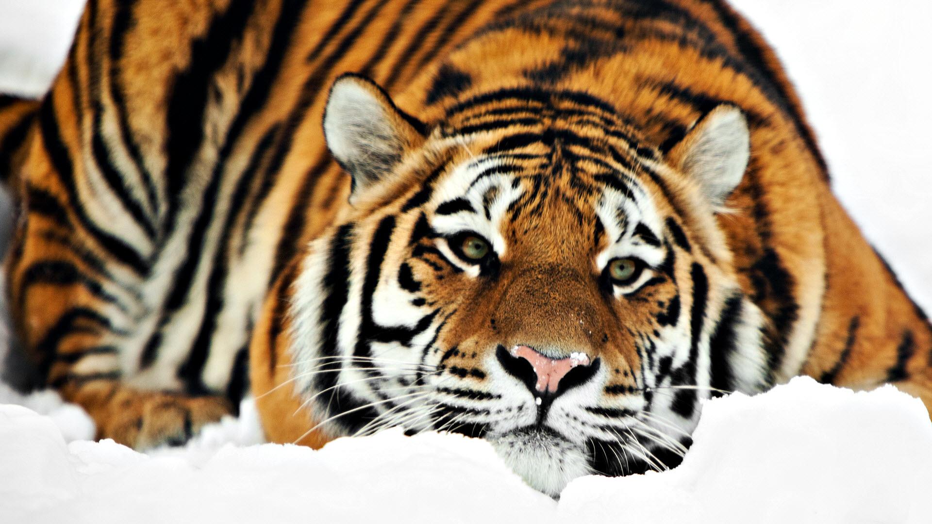 Tiger 1080p HD