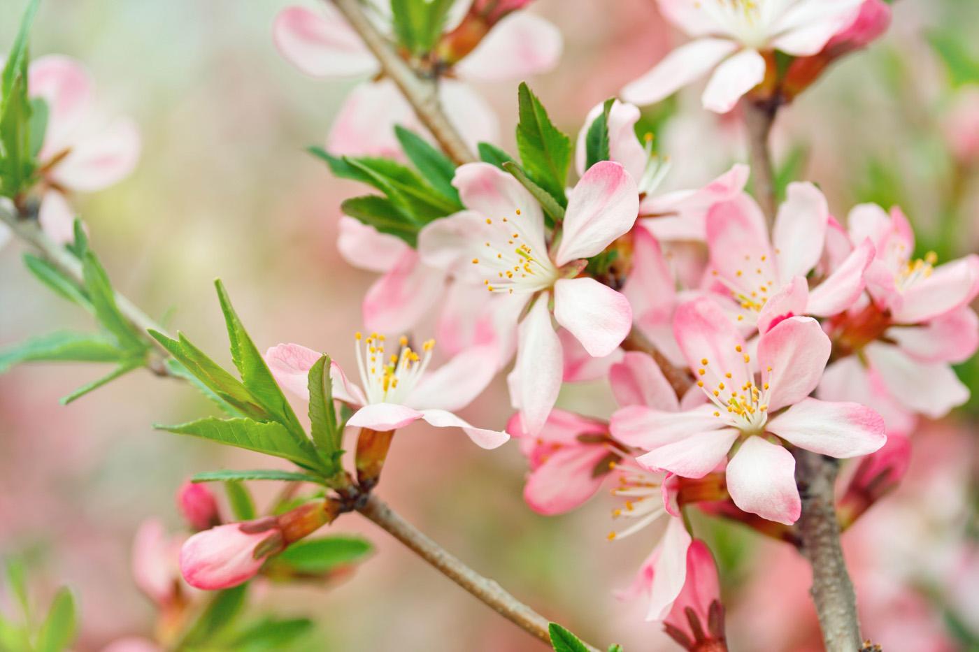 Free Peach Flower