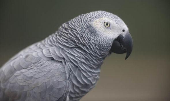 Beautiful Grey Parrot