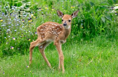 Cute Baby Deer 9754