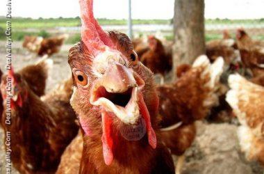 Cute Funny Hen