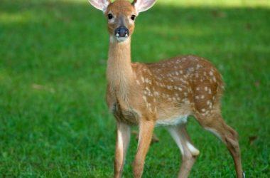 Fawn Baby Deer