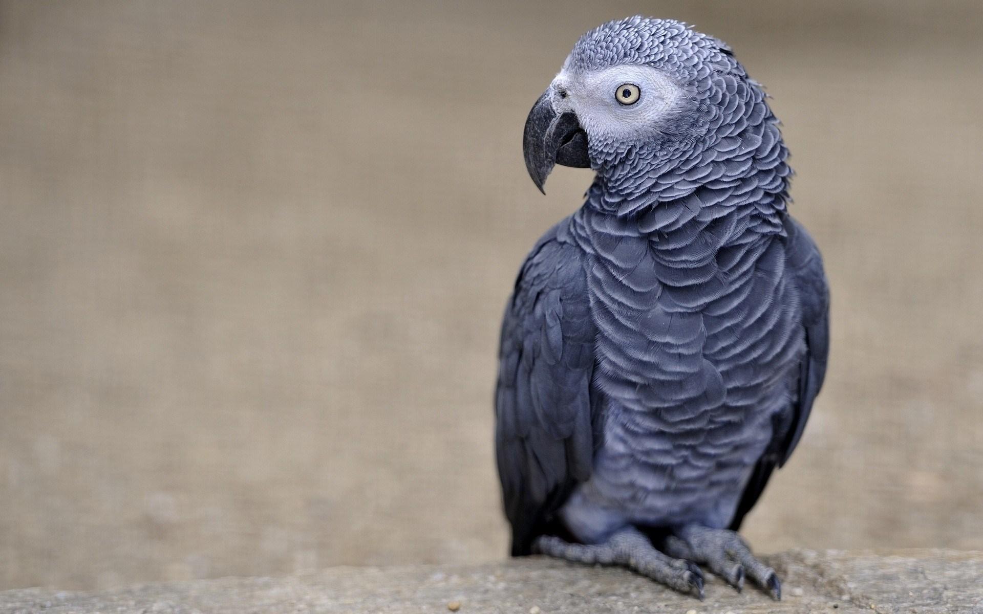 Grey Parrot Bird