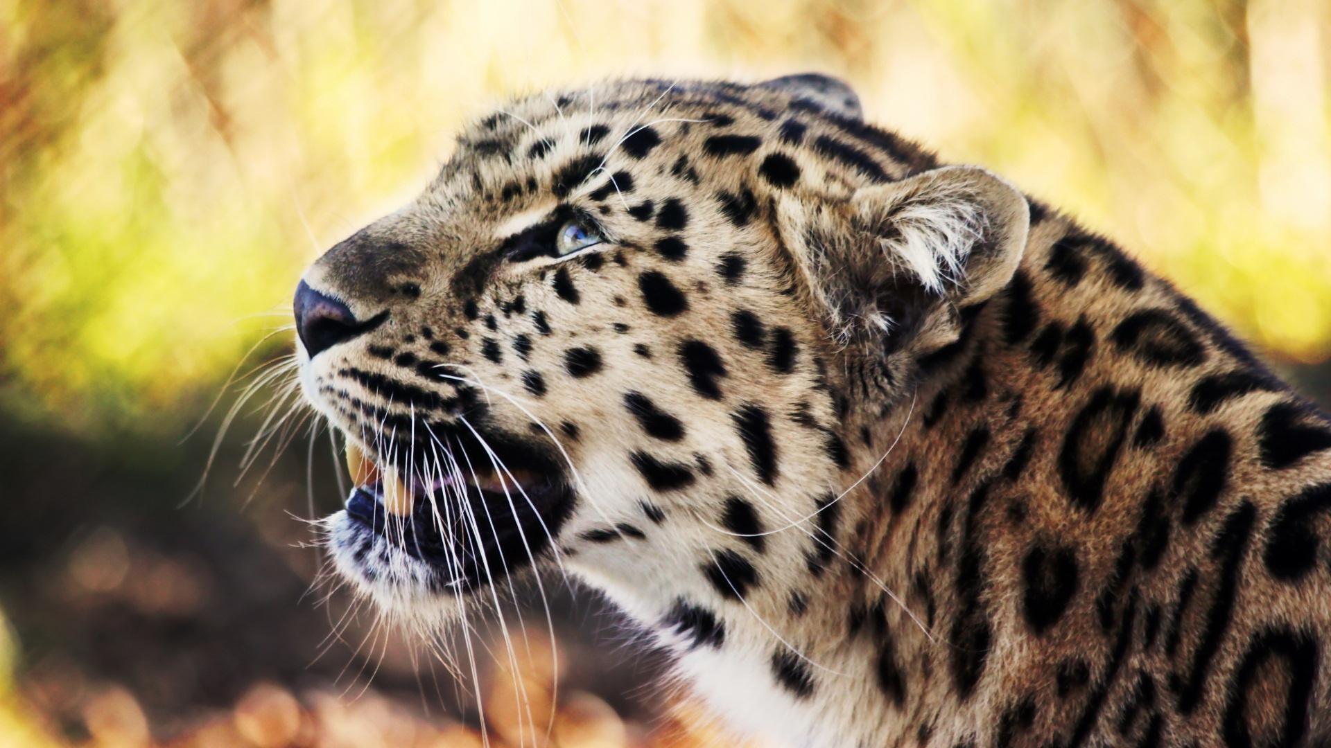 Leopard 1080p Image