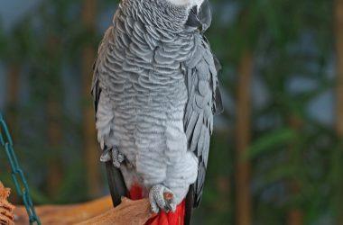 Nice Grey Parrot