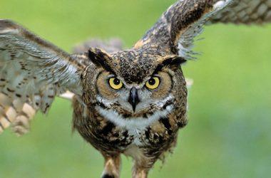 Owl Horned 9814