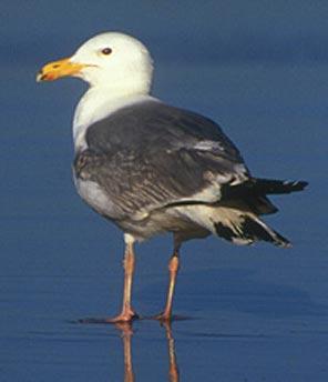 Standing Herring Gull