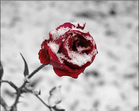 Best Winter Rose