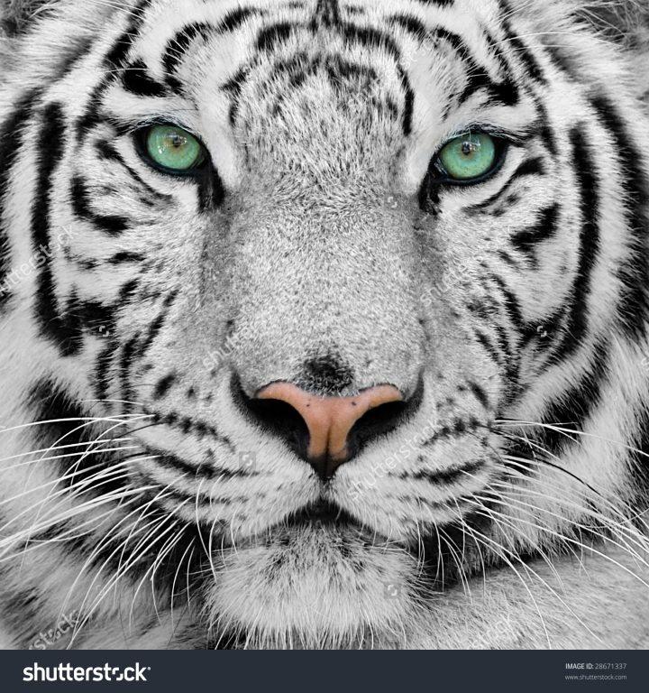 White Tiger Background, Green Eyes White Tiger, #10451
