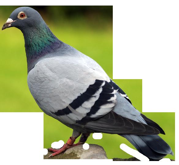 HD Pigeon
