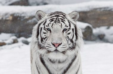Nice White Tiger