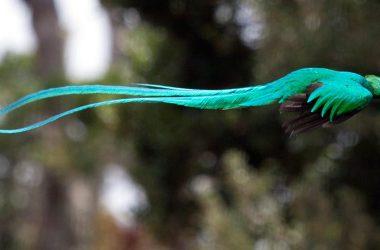 Quetzal Male Fotos 10068