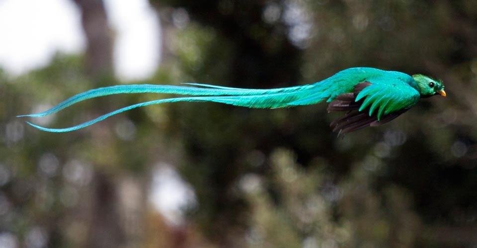 Quetzal Male Fotos