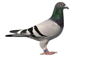 Racing Pigeon 10053