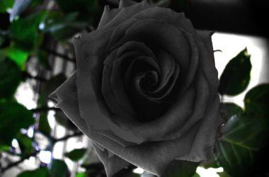 Halfeti Black Roses