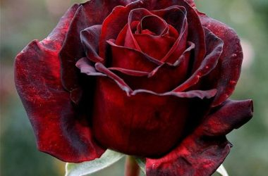 Black Beauty Rose
