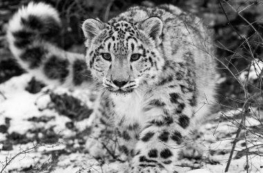 Black White Leopard Pic