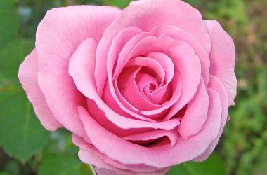 Natural Pink Rose 11104