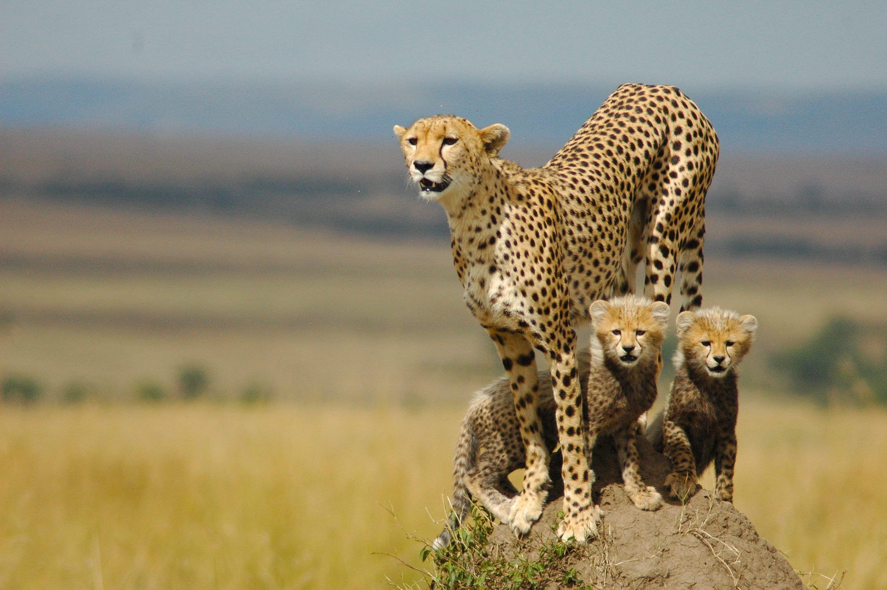 Beautiful Cheetah Image 11865