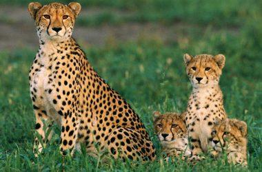 Big Cheetah Photo 12295