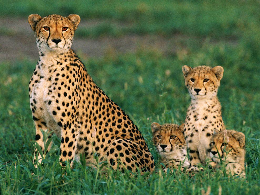 Big Cheetah Photo
