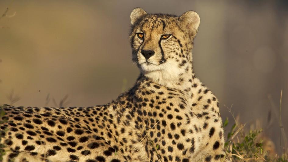 Brown Cheetah Photo
