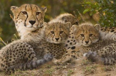 Cheetah Mom Photo 12298