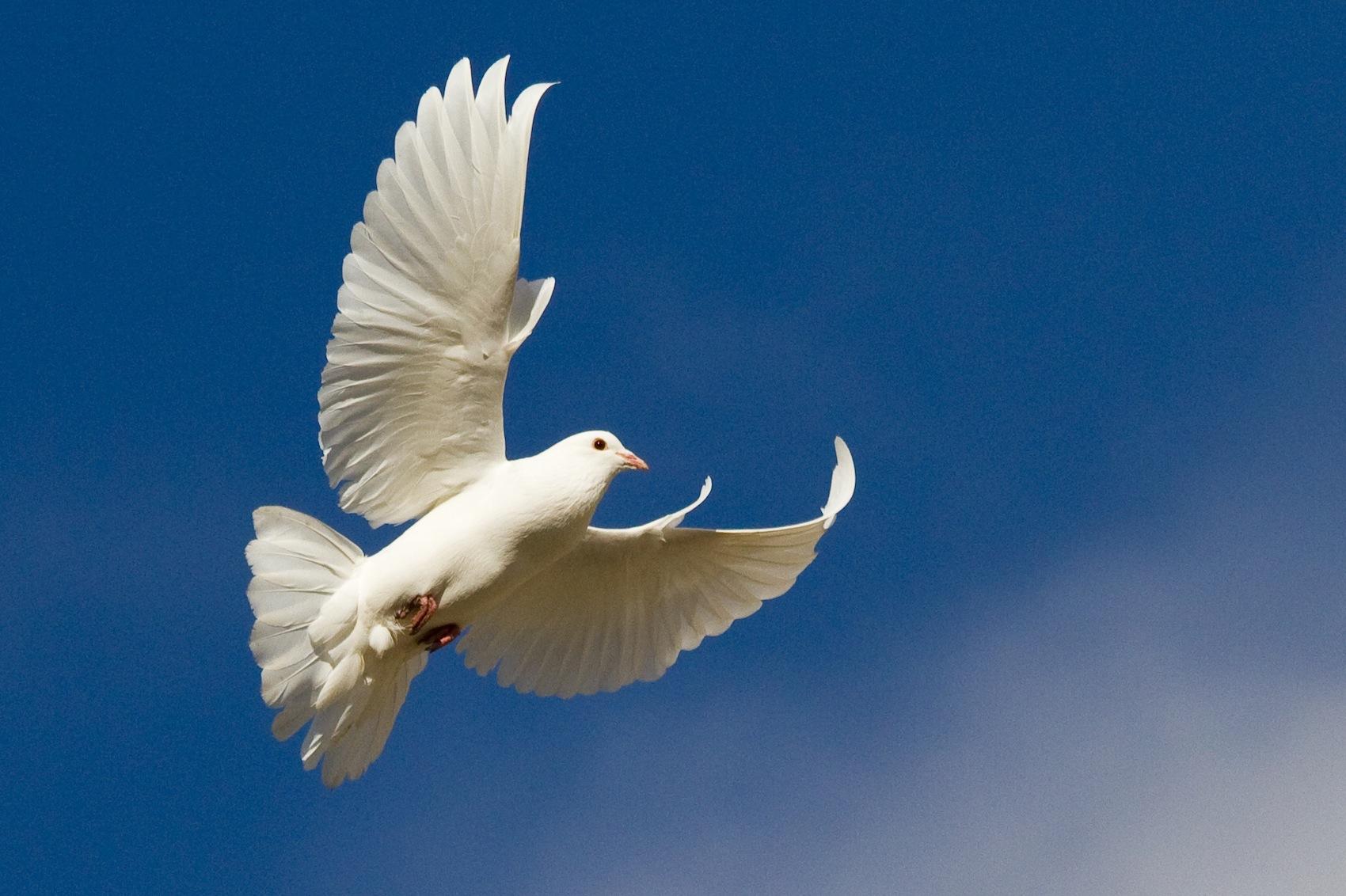 Nice Dove Picture 11677