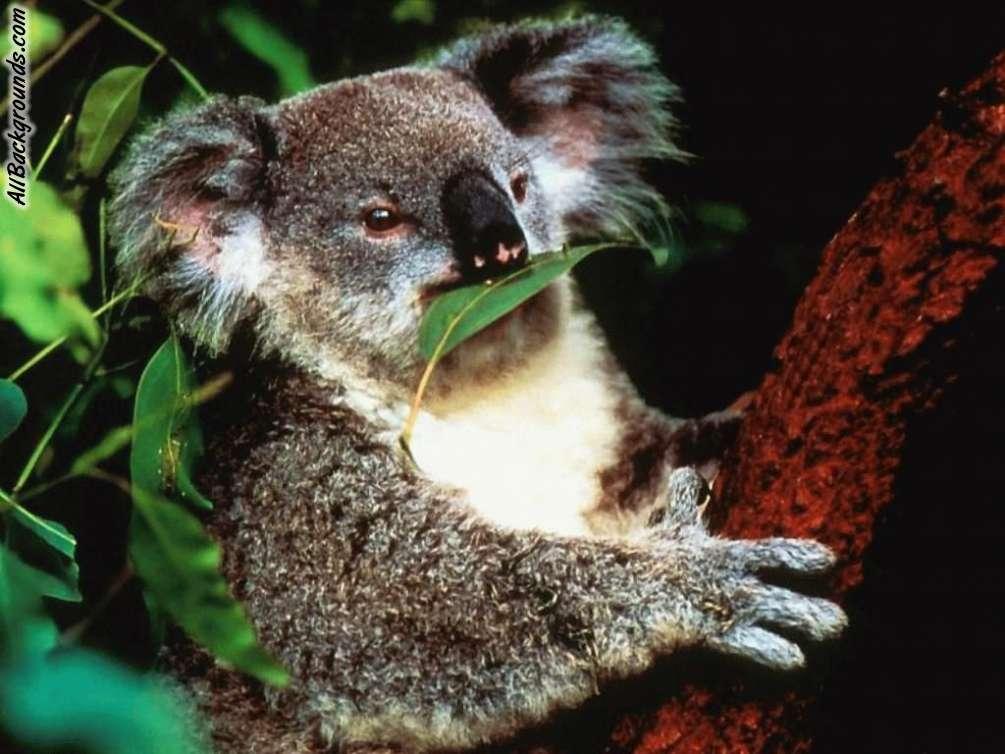 Beautiful Koala Picture 12162