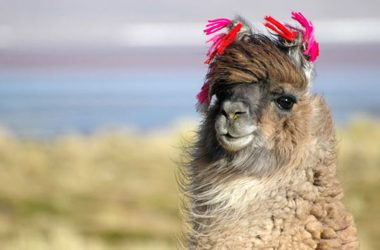 Funny Llama Wallpaper